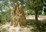 Nigeria, anthill under tree