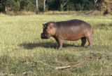 Uganda, hippo in field along Nile River