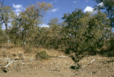 Zimbabwe, view of trees in bush country