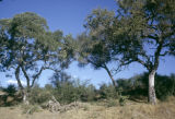 Africa, trees growing in grassy plain