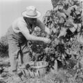 France, man harvesting grapes in east Provence-Alpes-Côte d'Azur