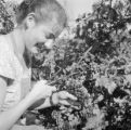 France, woman harvesting grapes at vineyard in Livron-sur-Drôme