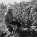 France, man picking grapes at vineyard in Livron-sur-Drôme