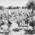 Portugal, women spraying and working in vineyard on Tagus River [Tejo]