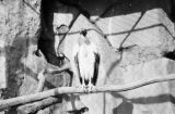 Germany, vulture in exhibit at Berlin Zoo