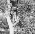 Spain, men removing bark from Andalucía cork oak tree in Grazalema