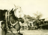 Poland, team of horses at Grodzick market