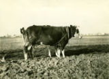 Poland, cows used in plowing with harness