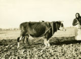 Poland, close-up of cows plowing in harness