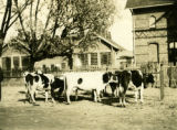 Poland, cows in the livestock section of Grodzick market