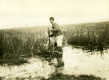 Belarus, man cutting marsh reeds
