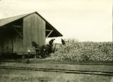Poland, men unloading sugar beets near wooden shed