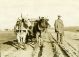 Belarus, oxen on road pulling wagon