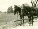 Poland, two horses attached to wagon