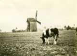Poland, cows grazing by windmill