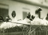 Belarus, close up of many geese in a wagon
