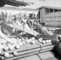 United States, workers sorting fruit at Snow Crop factory in Frostproof