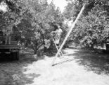 United States, worker on ladder at El Maxy Grove in Okahumpka