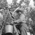 United States, worker harvesting fruit at orchard in San Jose