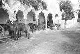 Mexico, mules in yard near chapel walkway at Hacienda Chichi Suárez