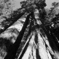 United States, giant sequoias at Sequoia National Park