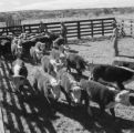 United States, ranchers watching over cattle on ranch in Willcox