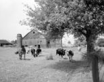 United States, cattle grazing on farm in south east Bedford county