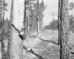 United States, tapped trees at turpentine farm in Wakulla
