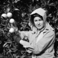 United States, worker harvesting oranges at orchard in Porterville
