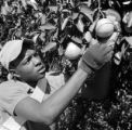 United States, man examining orange tree in Frostproof