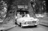 United States, Sandra and John Forman in car under Chandelier Tree in Leggett