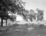 United States, sheep grazing in Roanoke