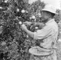 United States, worker harvesting oranges at orchard in Los Angeles