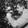 United States, man examining fruit tree in Phoenix
