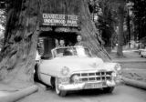 United States, Harrison and John Forman in car under Chandelier Tree in Leggett