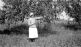 United States, woman picking apple from tree in Northeastern United States