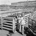 United States, men and cattle at stock yard in Fort Worth