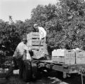 United States, workers loading oranges onto truck at grove in Frostproof