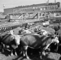 United States, cattle at stock yard in Fort Worth