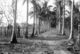 Panama, row of cocoa trees leading to gate at Manuelita farm