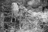Canada, fawn at zoo in Fort Frances