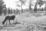 United States, cow grazing near railroad tracks and waste pile in Wakefield