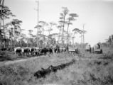 Florida, cattle and wagons