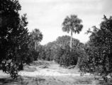 Florida, orange grove