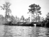 Florida, cattle along shoreline