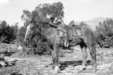 North America, horse with rifle in saddle