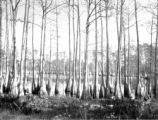 Calhoun County (Florida), cypress swamp