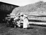 Platte County (Wyoming), woman with calf and cow near Wheatland