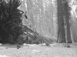 California, people gather at large fallen Redwood tree