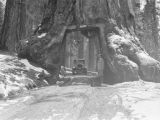 Mariposa Grove (California), Wawona Tunnel tree and car